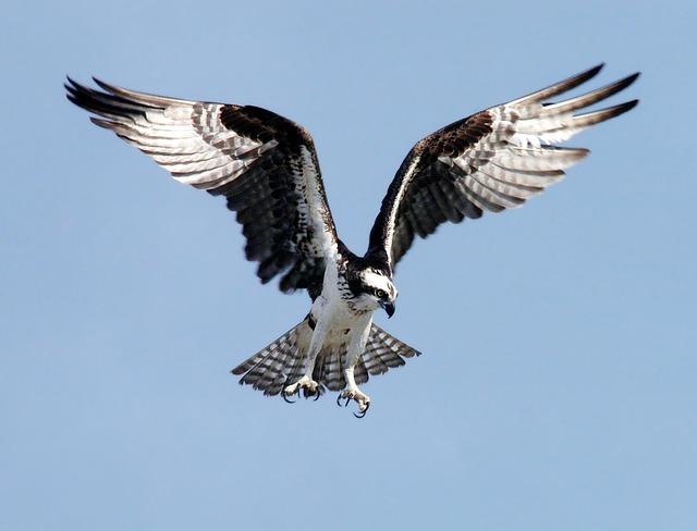 Osprey (Credit: Pixabay)